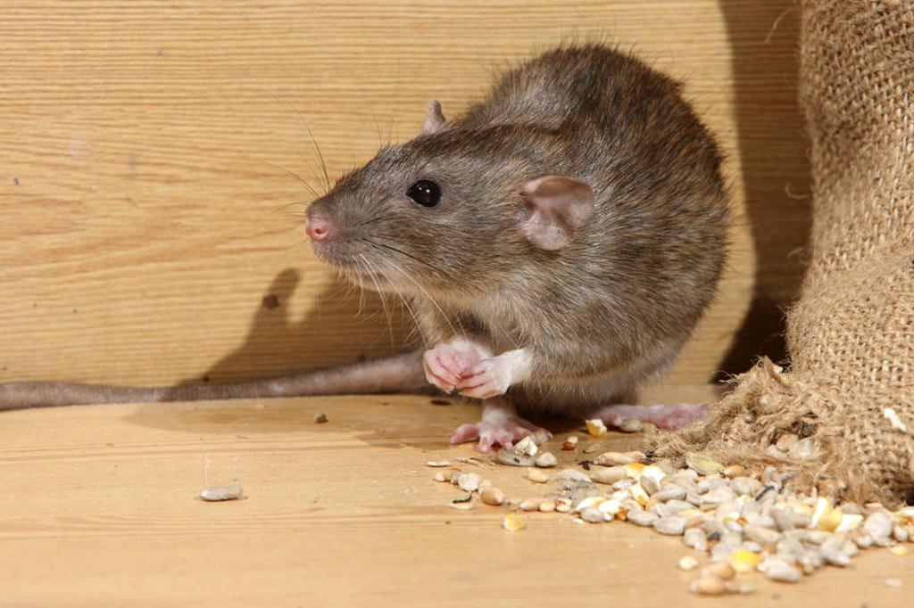 موش در مرغداری2